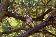 A Laughing Dove High In A Tree