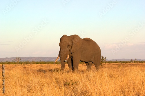 Photo  A big African Elephant during sunset