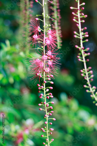 Pink Flower of Careya arborea ontree.. Wallpaper Mural