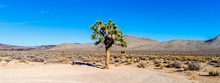 Joshua Tree With Green Leaves In The Desert