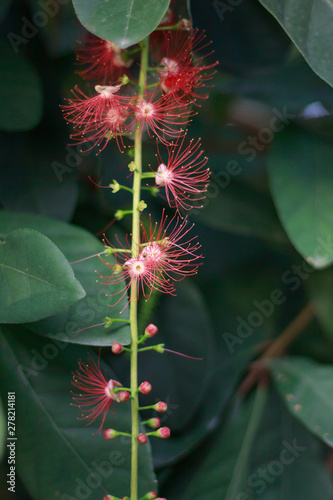 Photo Pink Flower of Careya arborea ontree..