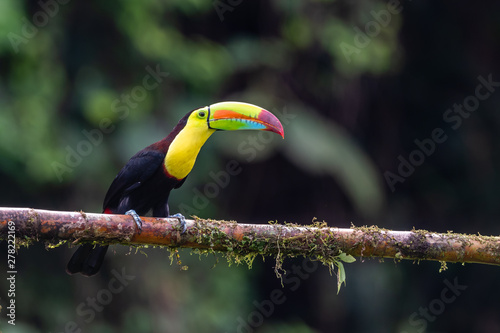 Foto op Canvas Toekan Keel-billed Toucan - Ramphastos sulfuratus, large colorful toucan from Costa Rica forest with very colored beak.
