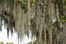 Detail Of Spanish Moss (Tillandsia Usneoides) Veils Hanging From Southern Live Oak Trees (Quercus Virginiana) In Louisiana USA
