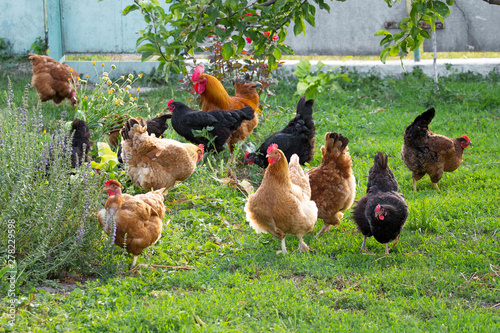 Canvas Print Chickens and cock in the garden on the farm are grazed on the grass_