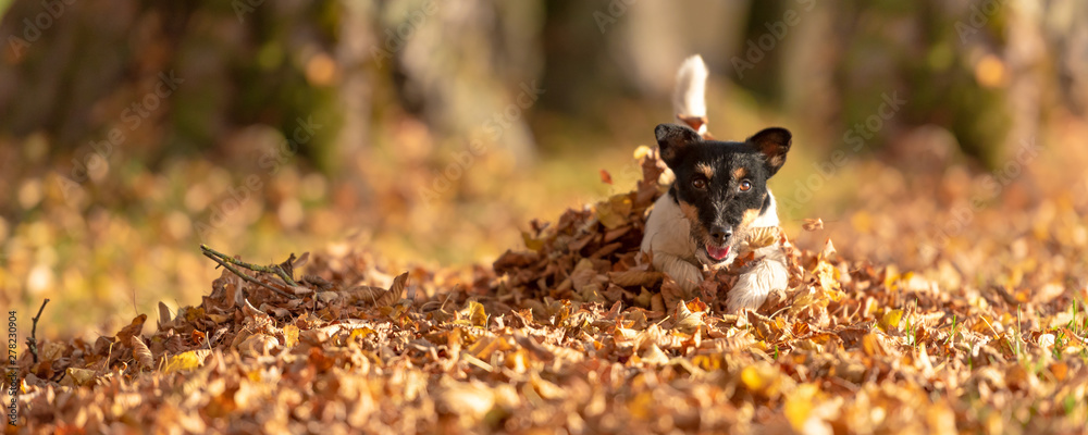 Fototapety, obrazy: Little Jack Russell Terrier dog has a lot of fun in autumn leaves and is playing alone with leaves