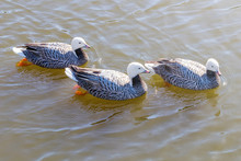 Emperor Geese Swimming In Water (Anser Canagicus)