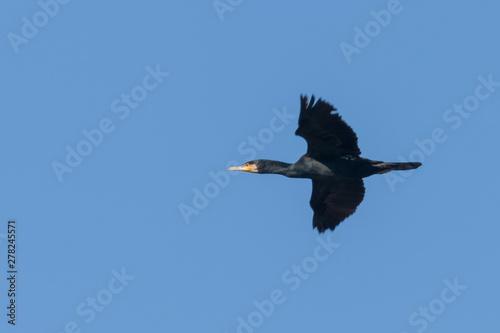 Keuken foto achterwand Toekan Great Cormorant in flight (Phalacrocorax carbo)