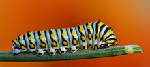 Caterpillar On Dill
