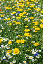 Wildflower Meadow Multiple Flowers