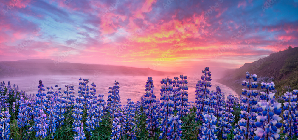 Fototapety, obrazy: Typical Icelandic landscape with field of blooming lupine flowers. Beautiful sunset with cloudy sky.