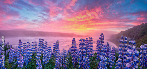 Montage in der Fensternische Rosa hell Typical Icelandic landscape with field of blooming lupine flowers. Beautiful sunset with cloudy sky.