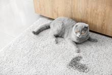 Cute Cat Near Wet Spot On Carpet
