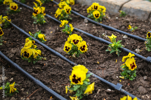Papiers peints Pansies yellow pansy on flowerbed in park, drip irrigation