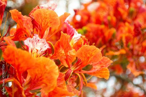 In de dag Poppy flor de pavo real