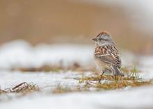 American Tree Sparrow Standing...