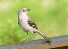 Close-up Of Northern Mockingbird Standing With Head Turned On Railroad Track With Smooth Soft Green Background.