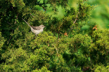 Northern Mockingbird Isolated In Profile Perched With Tail Up In Lush Green Juniper Tree Catching Midday Sunlight.