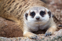 Closeup Of Meerkat Face