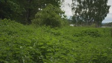 Green Forest Glade With Nettle...