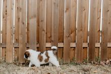 A Puppy Saint Bernard Exploring The Yard