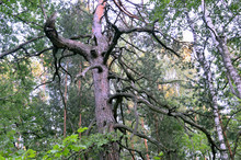 A Scary Tree In A Green Forest...