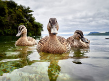 A Trio Of Ducks On Lake Taupo,...