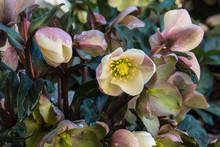 Cluster Of Pink Hellebores Growing In Garden With Raindrops