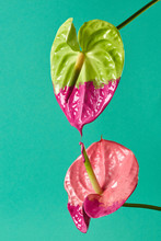 Pink And Green Anthurium Paint...