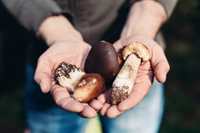 Man Holding Wild Edible Mushrooms, Boletus Badius And Boletus Edulis (cep)
