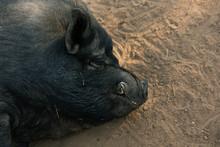 Black Hog Laying Down