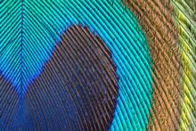 Iridescent Peacock Feather, Cl...