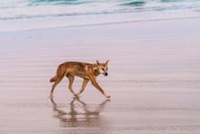Wild Dingo On The Beach