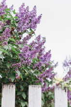 Lilac Bush By An Old White Fence