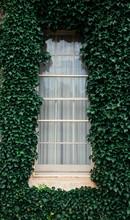 Green Ivy Vine Leaves Surround A Window