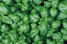Fresh Basil Plants