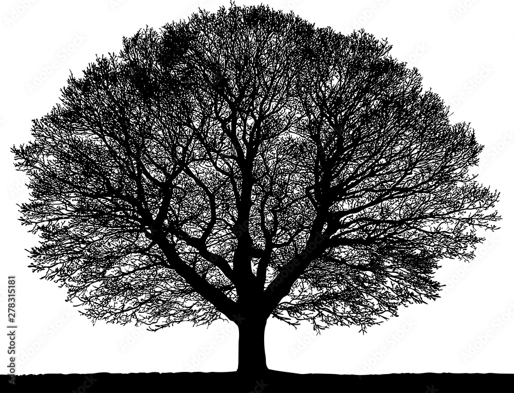 Fototapeta Black silhouette of a tree without leaves on white background.