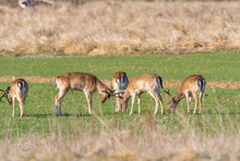 A Group Of Fallow Deer In A Me...