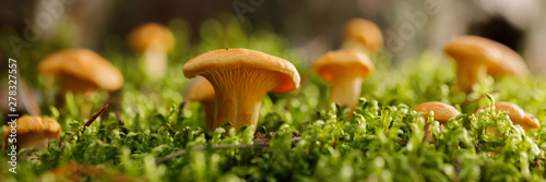 Fotografie, Tablou  Chanterelle mushrooms on green forest moss