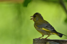 Green Goldfinch Sits On The Fe...