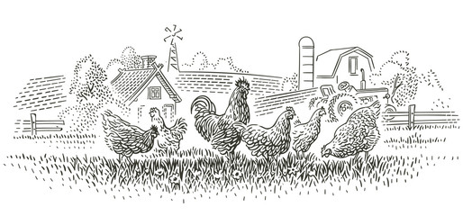 Rooster and hens in farmlan...