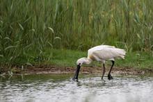 Watvogel Löffler Im Wasser