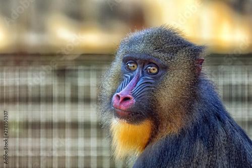 portrait of a baboon Wallpaper Mural