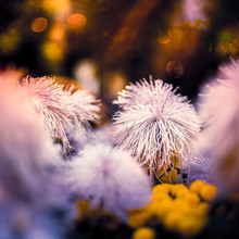 White Mimosa Microphylla Flowers That Look Like Koosh Balls, Also Known As Littleleaf Sensitive Briar, Little-leaf Mimosa, Catclaw Sensitive Briar, Smooth-leaf Sensitive Briar And Shame Vine