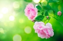 Pink Rose Flowers. Beautiful Roses Blooming Growing In Summer Garden