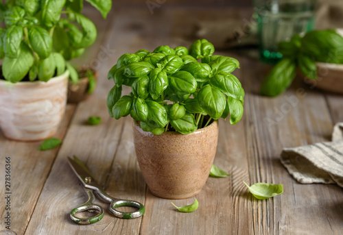 Canvastavla Fresh organic basil in a pot on a wooden table