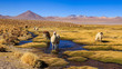 Lama standing in a beautiful South American altiplano landscape