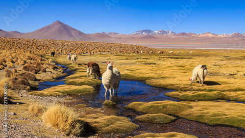 Spoed Fotobehang Landschap Lama standing in a beautiful South American altiplano landscape