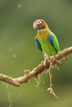 Brown-hooded Parrot On Branch In Rain