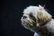 A small white Shih Tzu sitting in front of a black background Looking at the world around her.