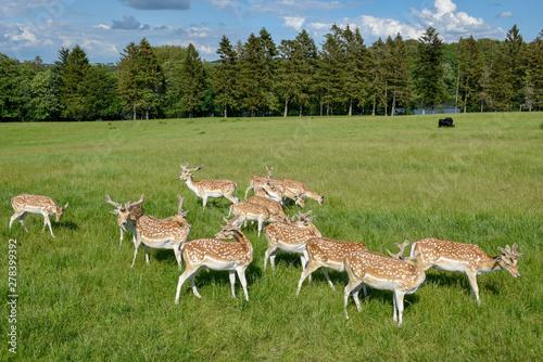 Fototapeta Group of young deer at Vestbirk in Denmark